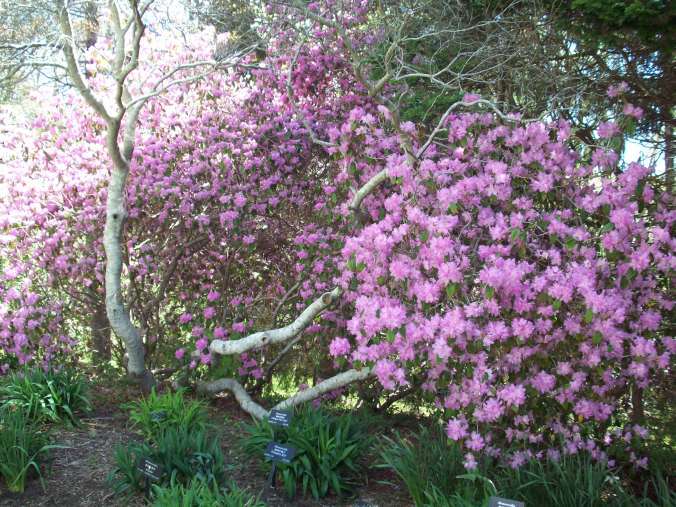 One of the first rhododendron bushes in bloom at the gardens