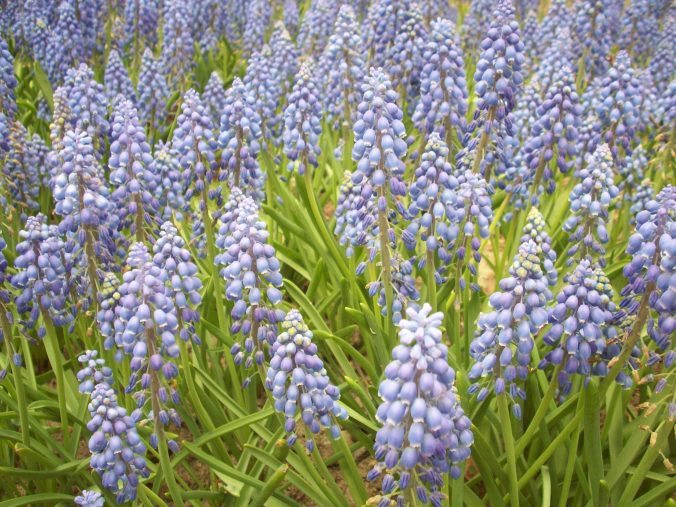 A close-up of the grape hyacinths in Bulb River