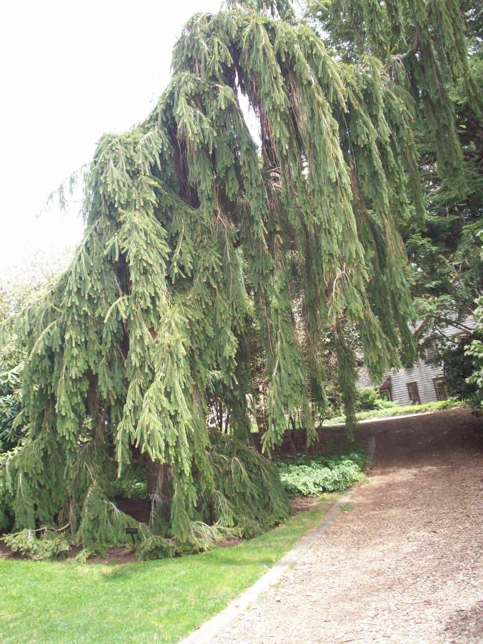An Ent? The Whomping Willow?? Nope! It's a weeping juniper!