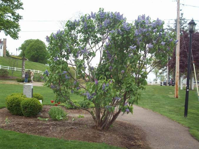 A lilac bush in bloom at Brewster Gardens